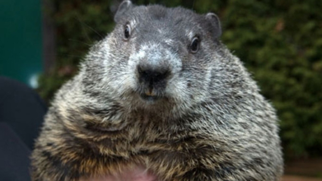 Punxsutawney Phil 'Predicts' 6 More Weeks of Winter