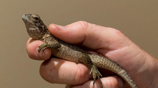 Critically Endangered Lizard Hatched by San Diego Zoo