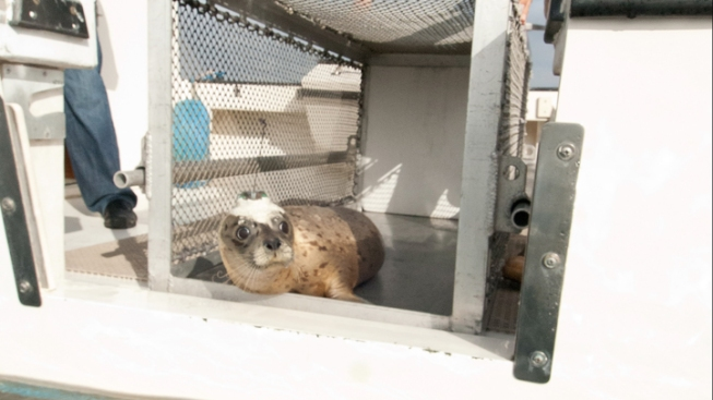 Seal Returned to Ocean Following Successful Surgery