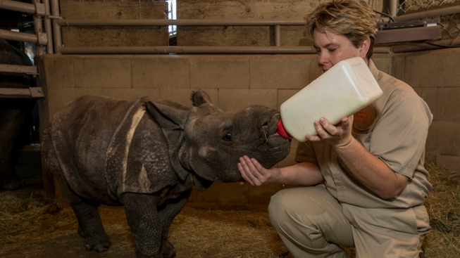 Baby Rhino Gets Bottle Service
