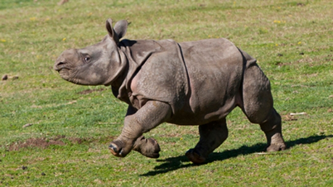 Rhino Makes Debut at San Diego Zoo