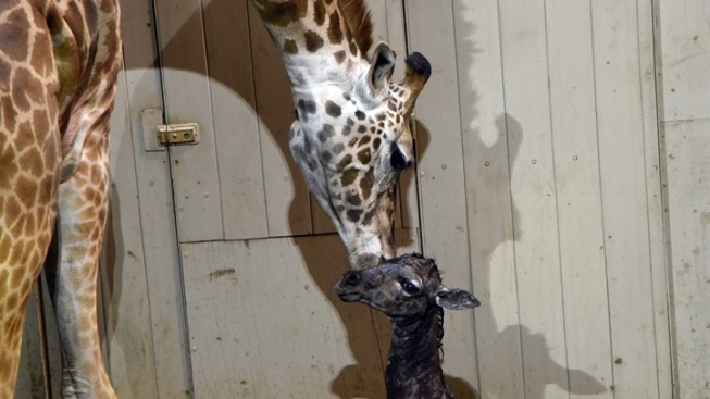 Masai Giraffe Born in Santa Barbara