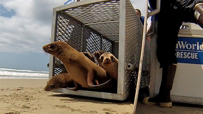Rehabilitated Sea Lion Pups Return to Wild