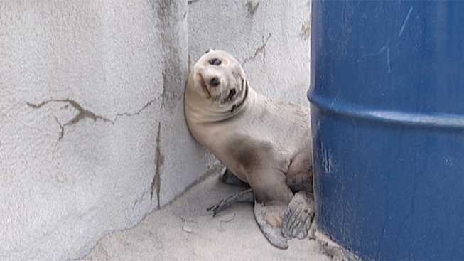 Stranded Sea Lion Pup Rescued from Mission Beach