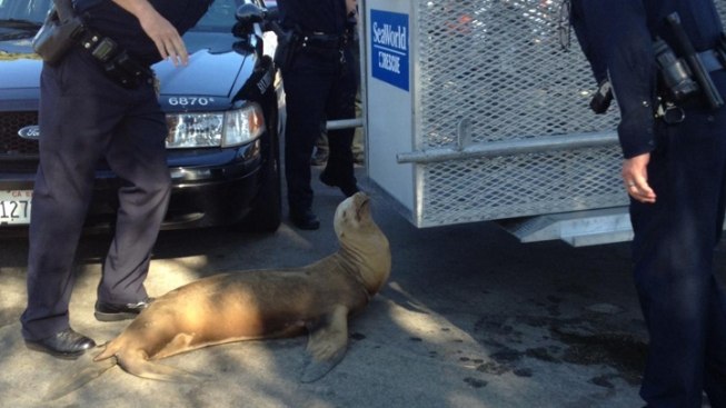 Injured Sea Lion Found on Sidewalk