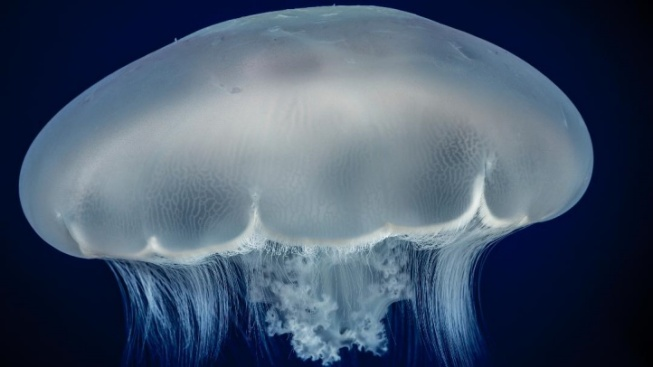 Monterey Moon Jelly Live Cam Now Afloat