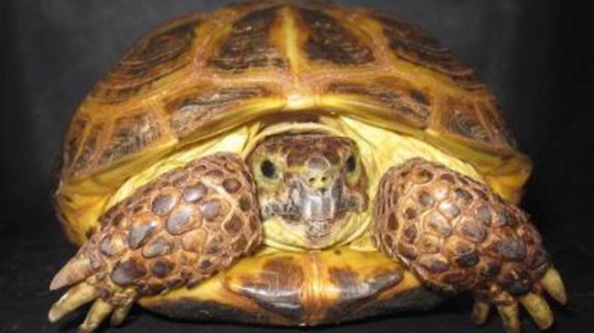 'Flying Tortoise' Lands New Home