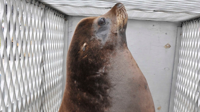 Sea Lion Hitches Ride Back Home