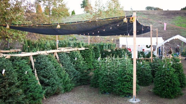 200 Free Christmas Trees Up For Grabs