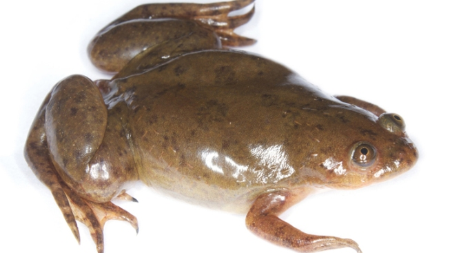Diseased Frogs Discovered in San Diego