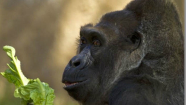 32-year-old Gorilla Dies at San Diego Zoo Safari Park