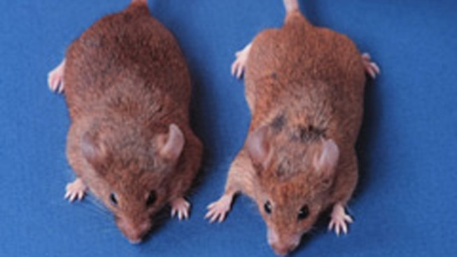 Researchers Hit Hair Regrowth Breakthrough on Bald Mice