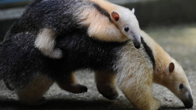 Birth of Anteater Has Zoo Staff Puzzled