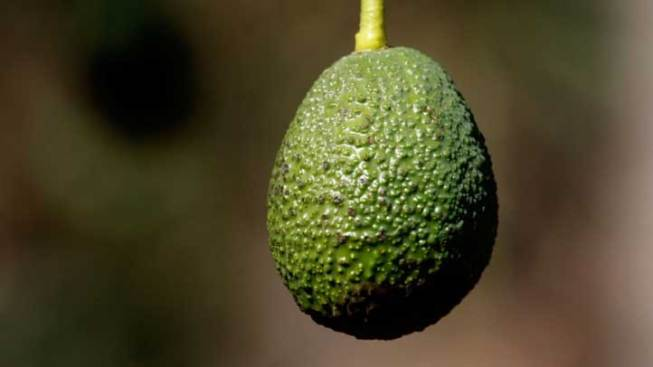 Online Avocados Lead to Farmer Survival