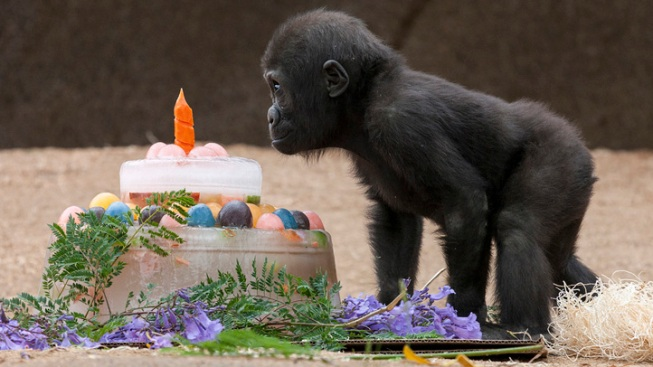 Baby Gorilla Celebrates First Birthday