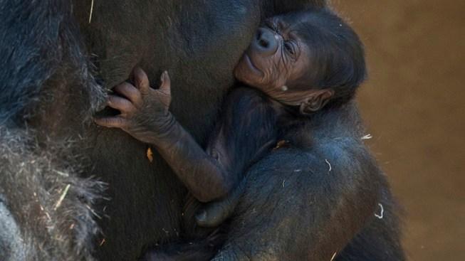 Baby Gorilla Born at SD Safari Park
