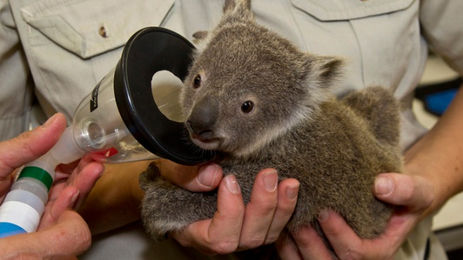 Newborn Koala at SD Zoo