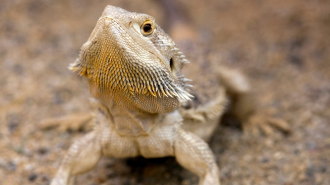 UK Woman Postpones Wedding to Pay for Lizard's Chemo