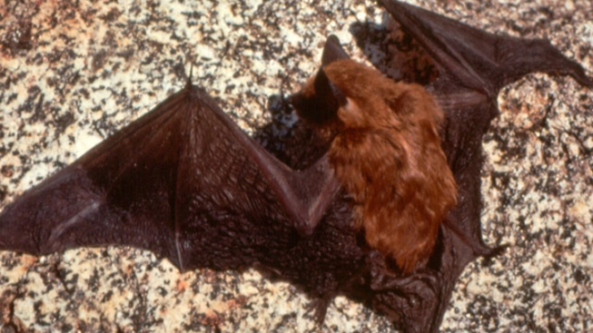 Rabid Bat Found in Del Cerro
