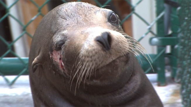 Sea Lion Shot at Point-Blank Range Recovering