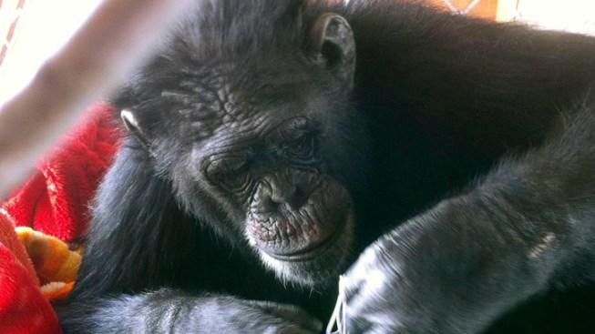 180-Pound Chimp Escapes Las Vegas Backyard — Again