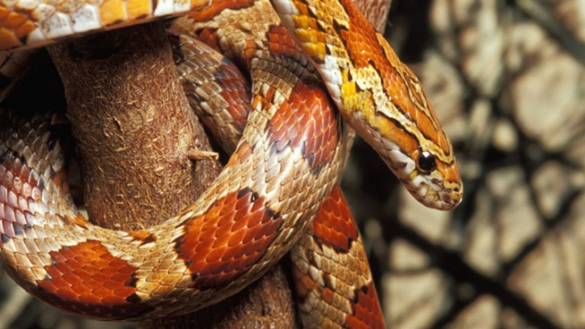 Snake Wriggles Out of Family's Christmas Tree