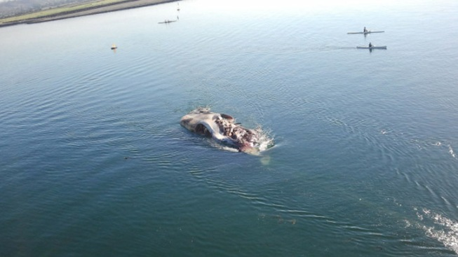 Whale Carcass Towed to Sea