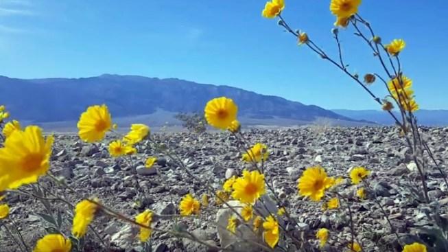 Desert Flower Fans, It's Almost Time