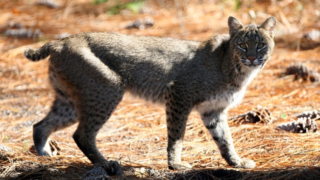 Bobcat Breaks into Prison