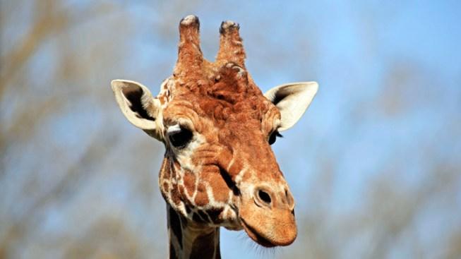 Escaped Giraffe Runs Amok in Italian Town