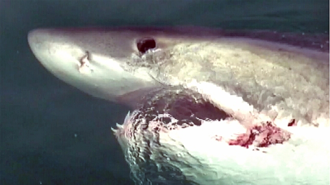 Stinson Beach Closed After Great White Shark Seen Near Beached Whale