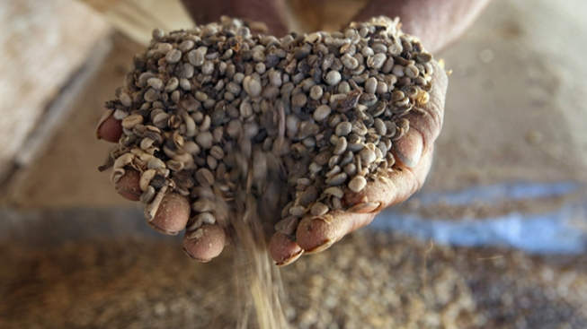 Coffee Beans Help Shed Pounds: Scientists