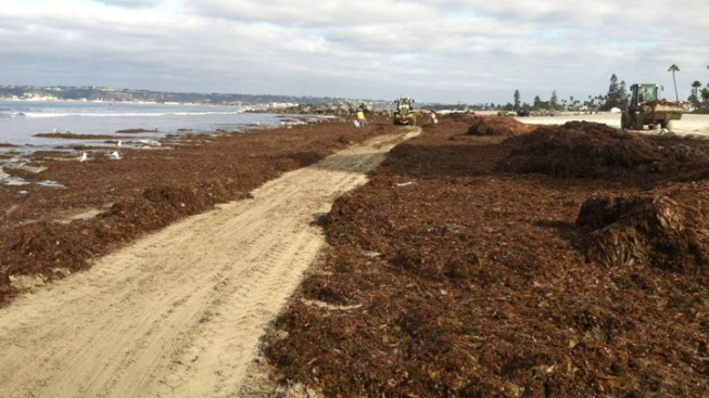 Kelp Takes Over Coronado Shoreline