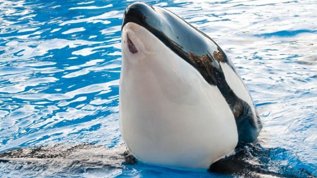 Injured SeaWorld Killer Whale Healing, Performing
