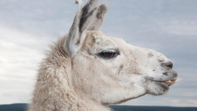 Sheep, Llamas Up For Adoption