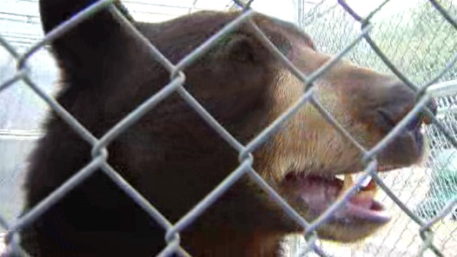'Meatball' the Bear Could Stay in San Diego