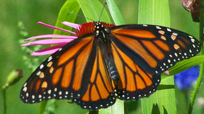 Monarch Butterflies Now Overwintering in Pacific Grove