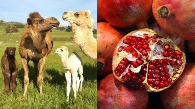 Ramona Cute: Feed Pomegranates to Camels