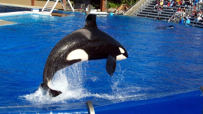 SeaWorld Accused of Enslaving Orcas