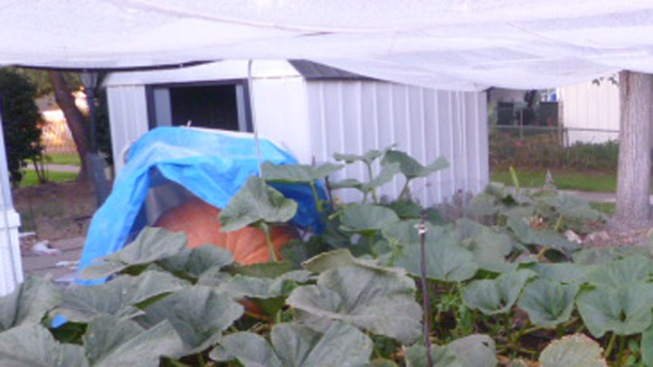 Pumpkin Grower Competes for County Record