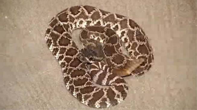 SoCal Warned to Look Out for Rattlesnakes