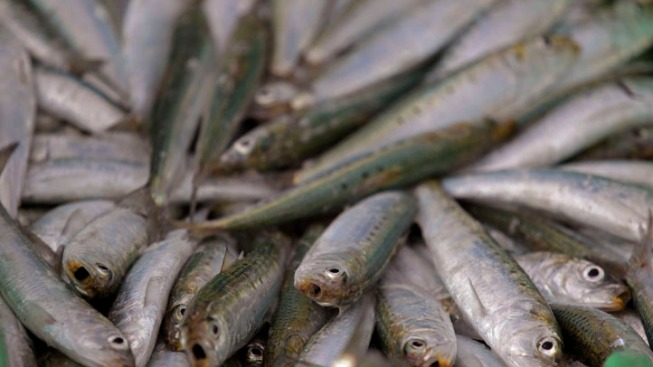 Rotting Sardines Block Japanese Port