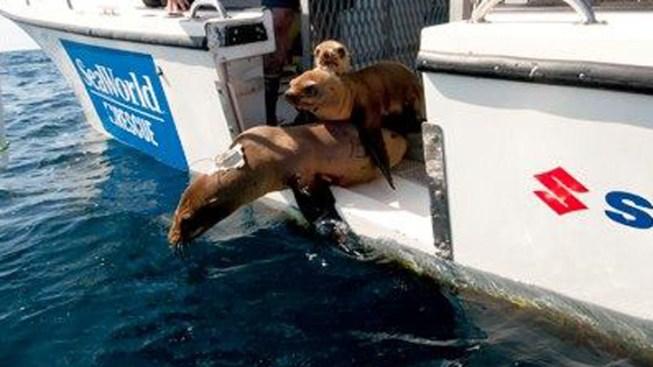 Healthy Sea Lions Returned to Ocean