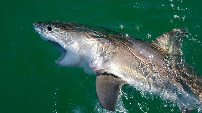 Great White Sharks Released in SoCal