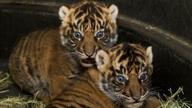$9M Pledged to Fund New Tiger Exhibit
