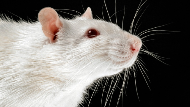 Bomb-Detecting Rats Join Colombia's Police Force