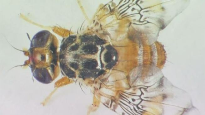 93 Miles of County Quarantined Due to Fruit Fly Infestation