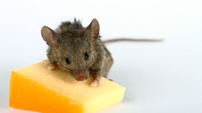 Mouse Trapped in Campo Tests Positive for Hantavirus