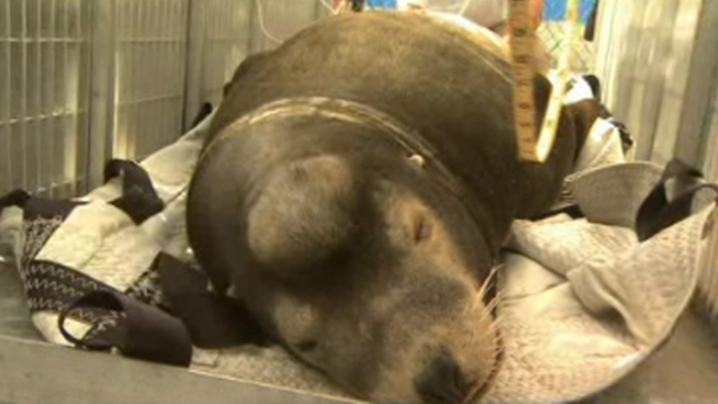 Sick Sea Lions Rescued in La Jolla