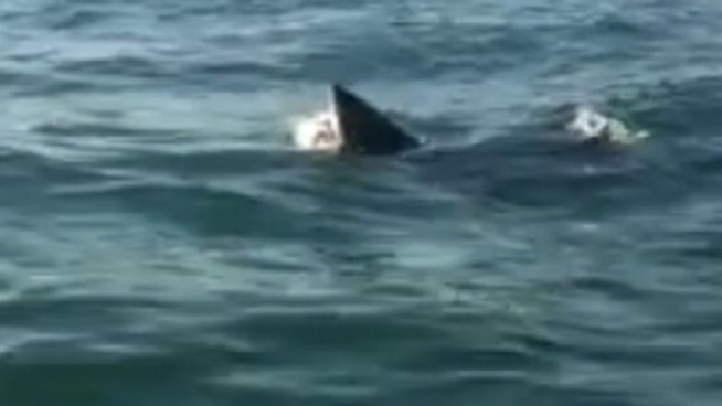 Great White Shark Eating A Dolphin
